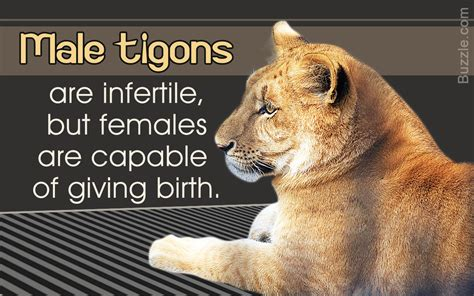 Interesting Facts About Tigons