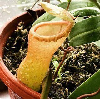 fleischfressende pflanzen repräsentative arten 216 die fleischfressende pflanzen pflege merkmale typen