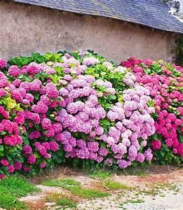 Prix Pour Tailler Une Haie : id e de jardin cr er une haie fleurie et parfum e ~ Dailycaller-alerts.com Idées de Décoration