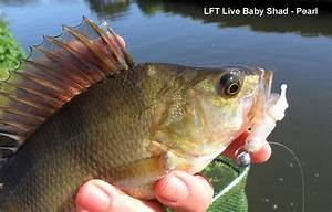 Baby Perch Fish