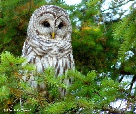 barred owl  calling