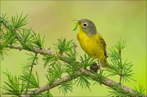 photo nashville warbler carrying food