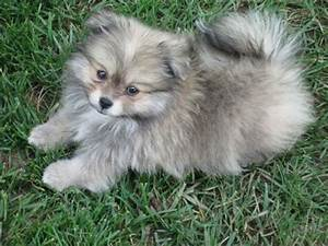 Pomeranian A close relative of the Keeshond, the ...
