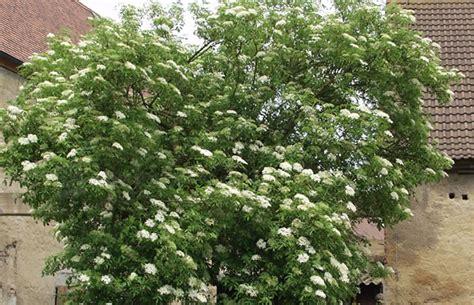 schwarzer holunder kaufen sambucus nigra schwarzer holunder pflanzenreich