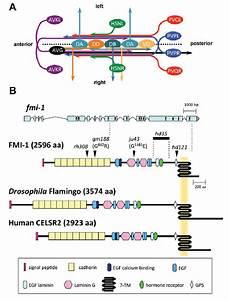 Development Of The Ventral Nerve Cord  Vnc  In C  Elegans