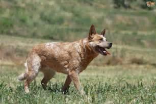 Australian Cattle Dog Personality