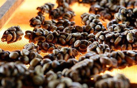 Kopi Luwak Civets Coffee civet coffee kopi luwak telegraph