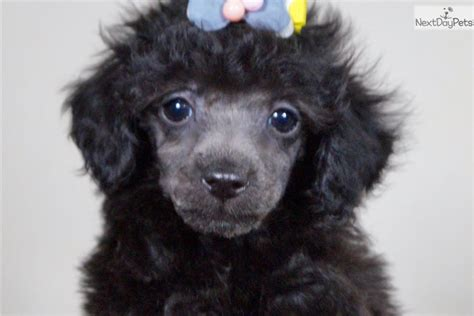 cupcake poodle toy puppy  sale  fort wayne