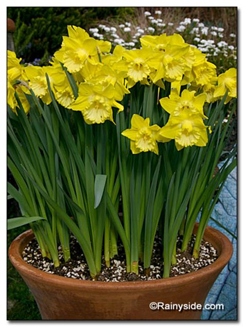 growing daffodils in containers