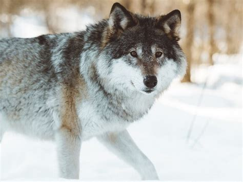 wolf alpha names female male meaning characters famous dogs