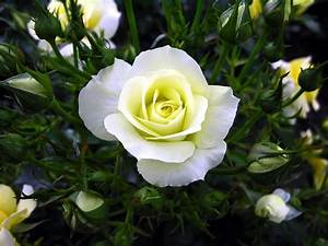 New White Rose Flowers Wallpapers - Entertainment Only