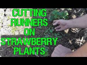 Cutting Runners on Strawberry Plants - YouTube