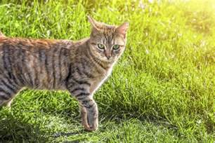 tabby cat facts jaw dropping facts about tabby cats