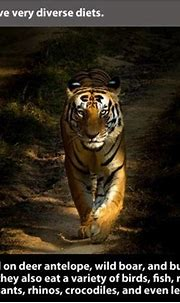 21 Facts About Tigers That Show Their True Colors