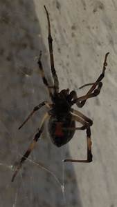 How To Get Rid Of Black Widow Spiders  With Pictures