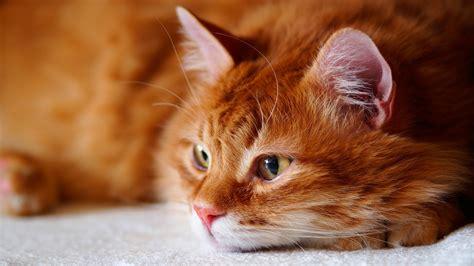 wallpaper cat brown  animals