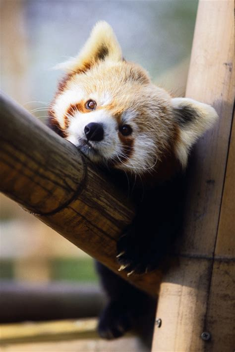 red panda born  auckland zoo great excuse  run