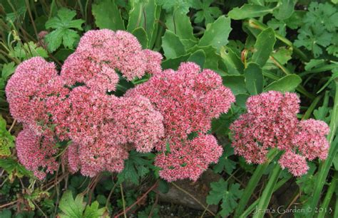 sedum with pink flowers glories of the early fall garden gbbd september 2013 jean s garden
