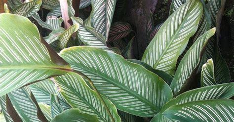 tanaman keladi hias termurah  denpasar bali tanaman