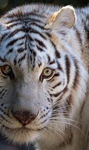 White Tiger HD Wallpaper | Background Image | 3000x2000