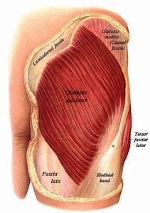 Gluteus Maximus Muscle