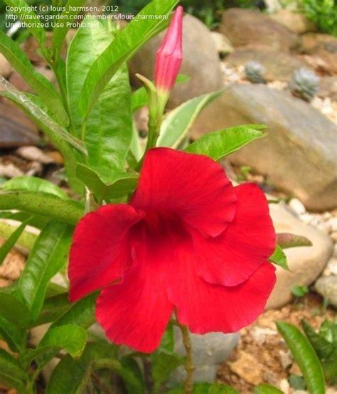 Plant Identification Closed Red Flower Climbing Plant, 2