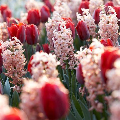 tulip flower bulbs garden plants flowers garden