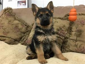 German Shepherd Brown Puppies | www.pixshark.com - Images ...
