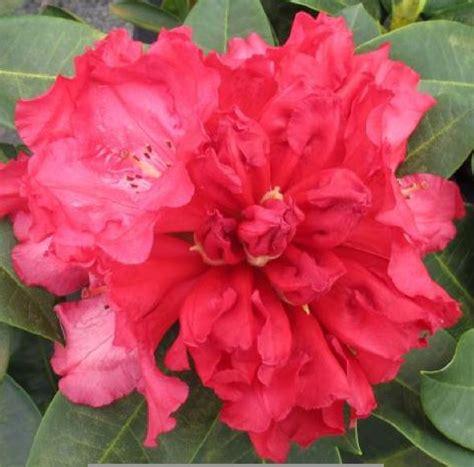Rhododendron 'Markeeta's Prize' - Mūžzaļais rododendrs