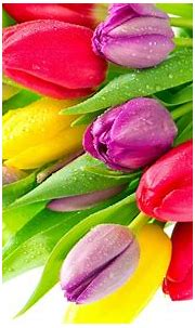 Colorful Tulips 7013930 : Wallpapers13.com