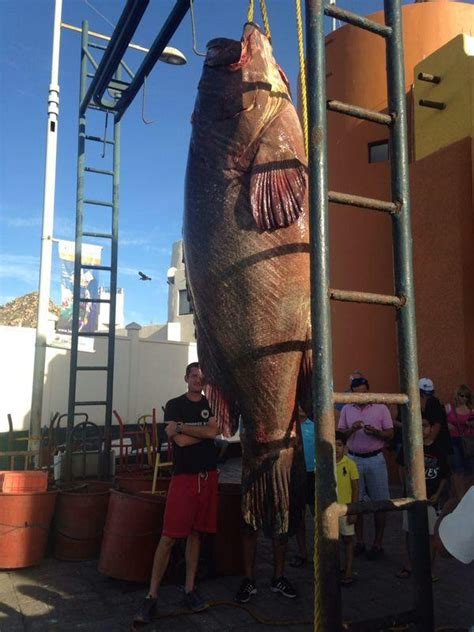 grouper caught giant san cabo lucas fish mexico fishing monster imgur