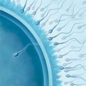 Durée Vie Spermatozoide by Ovulation Et F 233 Condation Comment 231 A Marche Sant 233 M 233 Decine