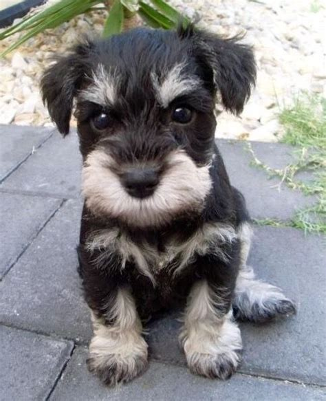 do schnauzers shed 1000 images about schnauzer on