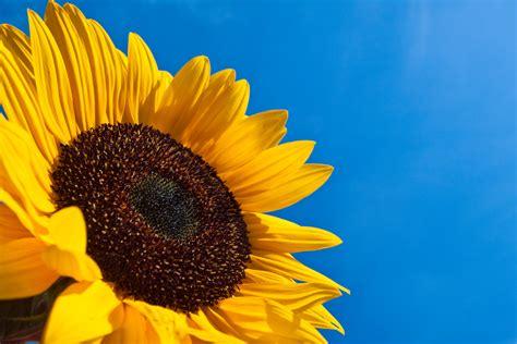 cuisine du monde le tournesol un grand soleil le mag de flora le mag