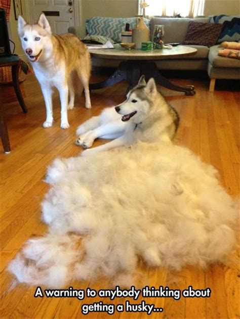 My Stinks And Sheds A Lot by 25 Best Ideas About Siberian Husky On