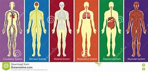 Different Systems Of Human Body Diagram Stock Vector