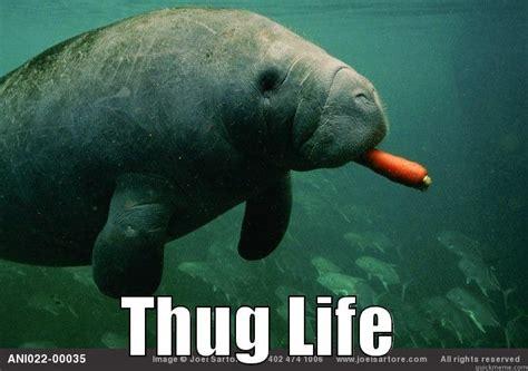 Manatee Memes - manatee meme 28 images manatee funny things pinterest manatee memes manatee meme 28 images