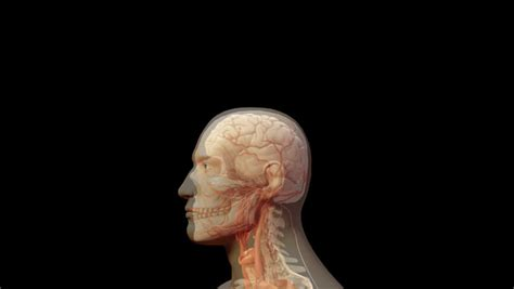 Human Body Showing Gross Anatomy Of Internal Organs Heart