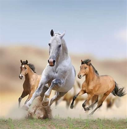 Horses Wild Mustangs Mustang Facts America Desert