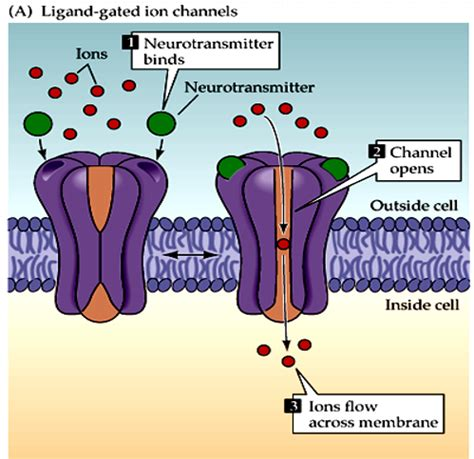 Ligand gated ion channels pdf