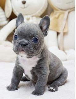 cutest mini french bulldogs