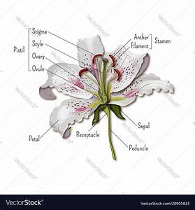 Parts Of The Flower Infographics Lily Flower Vector Image