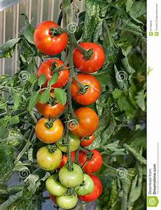Tomato cluster on vine stock photo. Image of ripening ...