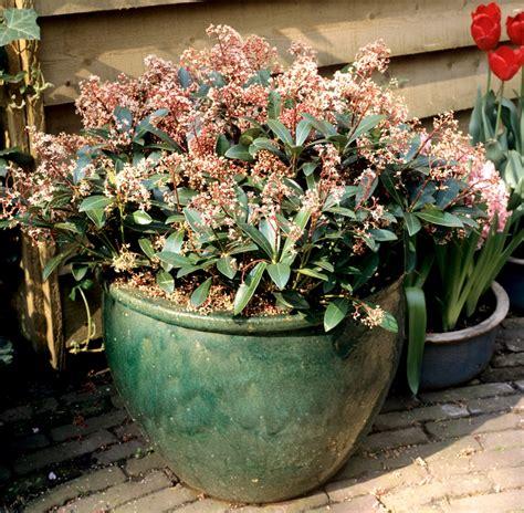 cerisier du japon en pot skimmia du japon planter et cultiver ooreka