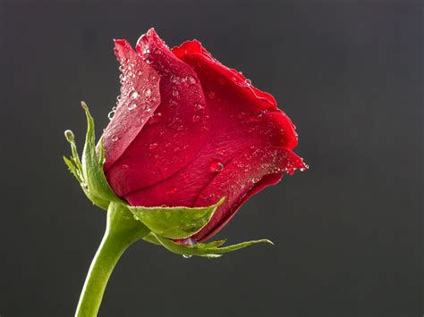 Beautiful Rose Hd Wallpapers And Images