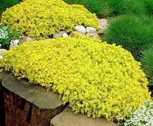 Sedum Golden Carpet 100 Seeds, Succulents Excellent Ground ...