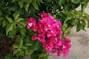 Bougainvillea Blüht Nicht : bougainvillea ~ Lizthompson.info Haus und Dekorationen
