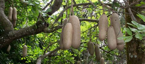 Marcie's Story  How I Discovered Sausage Tree Cream