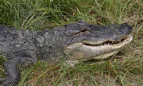 aligator cuisine alligator smithsonian 39 s national zoo