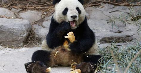 panda pandas china giant meat deadly virus killing height zoo killed story usatoday save selling